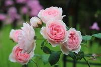 猛暑なのに、ジ エンシェント マリナーさんが美しく咲いてるんです♡ - みい写日記☆