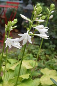 ホスタ・ロイヤルスタンダードの花が咲きはじめました。 - 小さな庭 2