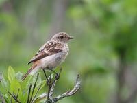 霧ケ峰で今年もノビタキと遭遇 - コーヒー党の野鳥と自然パート3