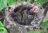 鳥さんの子育て生後9日目~10日目。 - ARTY NOEL