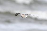 """(改めて)""""ハジロクロハラアジサシ""""稀な旅鳥 - 勝手にヒロシ"""