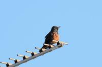 オオジシギ・タマシギ・セッカ - 週末バーダーのBirding記録