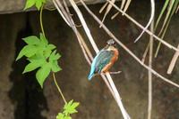 カワセミの幼鳥 - デジタルカメラで遊ぶ 気まぐれ備忘録