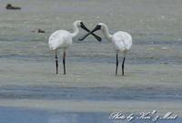 南の島3日目「エックス!!!!!」(*^^*)クロツラヘラサギさん♪byミント編 - ケンケン&ミントの鳥撮りLifeⅡ