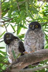 それぞれの巣立ち~オオコノハ&アオバズク~ - Eye Love Photo*