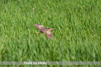 湿原を飛ぶ - 野鳥 飛翔フォト