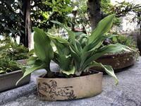 万年青 history - リリ子の一坪ガーデン