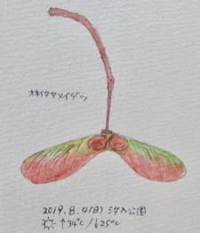 #植物スケッチ #ネイチャー・ジャーナル 『大板矢名月』 -