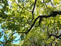 柿の木の下で… - 侘助つれづれ