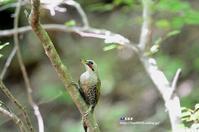 水場に降りたアオゲラ - azure 自然散策 ~自然・季節・野鳥~