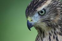 オオタカ幼鳥の虹彩 - 気まぐれ野鳥写真