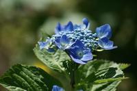 八月に咲く紫陽花。 - 大地の四季