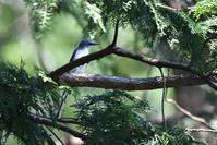 サンショウクイさん - 鳥と共に日々是好日