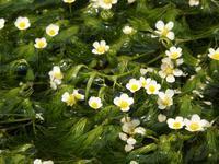 『梅花藻(バイカモ)と姫蒲(ヒメガマ)と禊萩(ミソハギ)』 - 自然風の自然風だより