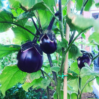 我が家の菜園日記 no.31 〜 日々成長! - 幸せなシチリアの食卓、時々旅