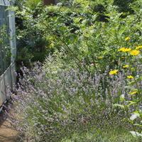 エルダーフラワー事件 - sola og planta ハーバリストの作業小屋