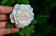 一輪の開花が嬉しかったちょっとしたお知らせ - カヲリノニワ