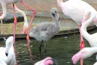 オオフラミンゴとモモイロペリカンのヒナ(多摩動物公園) - 続々・動物園ありマス。