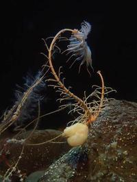 葛西臨海水族園:深海の生物~五億年の時を超えて、「生きた化石」トリノアシ - 続々・動物園ありマス。