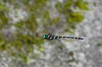 オニヤンマを撮ってみた - 続 鳥撮るclub