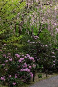 石楠花咲く三千院(後編・有清園~奥の院) - 花景色-K.W.C. PhotoBlog
