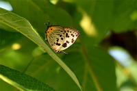オナガシジミ - 蝶と自然の物語
