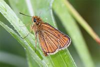 ヘリグロチャバネセセリ - 蝶と自然の物語