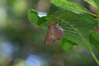 暗い林道の獣糞にキバネセセリ - 蝶と自然の物語