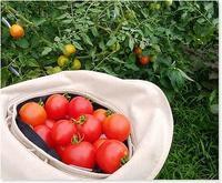 菜園のトマトは豊作です! - 番犬ハナとMIX犬サクのおさんぽ毎日