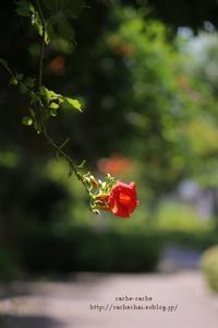 晩夏に咲く - cache-cache