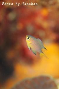 ど~~~って事のない~ヒレグロスズメダイ幼魚 - 池ちゃんのマリンフォト