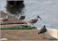 キアシシギたち - 野鳥の素顔 <野鳥と日々の出来事>
