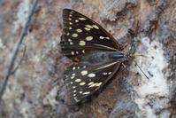 蟻と共に-1- - 蝶と蜻蛉の撮影日記