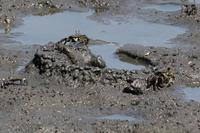 ★トビハゼの巣穴を見つけました - 葛西臨海公園・鳥類園Ⅱ