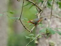 大菩薩湖でソウシチョウと遭遇 - コーヒー党の野鳥と自然パート3