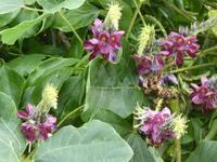 葛(くず)の花 - ミモザアカシアの日々