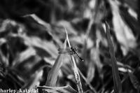 トンボ - harley-katydid