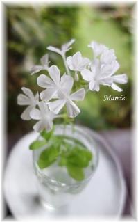 白い瑠璃茉莉 - おだやかに たのしく Que Sera Sera