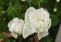 白い薔薇 - カヲリノニワ