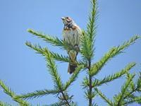 高原のホオアカ - barbersanの野鳥観察