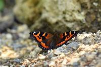 信州コヒオドシ - 蝶と自然の物語