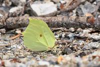 スジボソヤマキチョウが多数 - 蝶と自然の物語