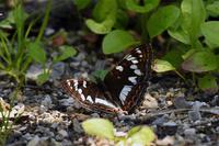オオイチモンジ雌・・・まさかの登場 - 蝶と自然の物語