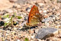 最後にミドリヒョウモン - 蝶と自然の物語