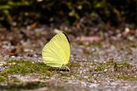 キタキチョウ - 蝶と自然の物語