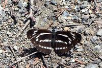 オオミスジも・・ - 蝶と自然の物語