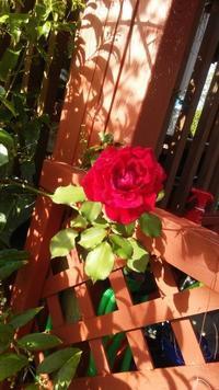 真っ赤なバラが〜♪ - Nature Care