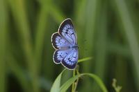 ゴマシジミ - Lycaenidaeの蝶鳥撮影日記