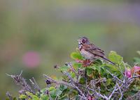 早朝の原生花園のホオアカ。 - 季節の野鳥~Wildbirds archives
