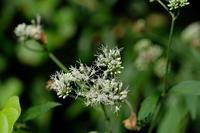 ■夏の草花 3種(2)19.8.15(ヒヨドリバナ、ミズタマソウ、ミズヒキ) - 舞岡公園の自然2